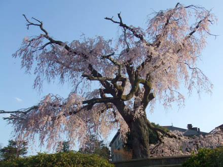 京都円山公園の枝垂れ桜