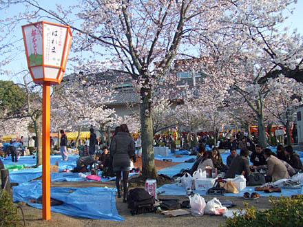 京都円山公園のお花見