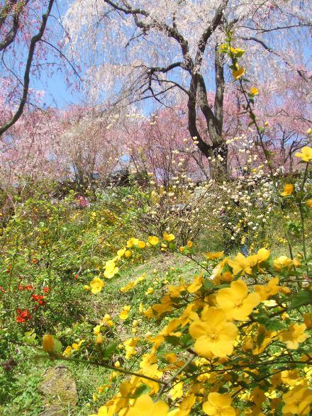 京都枝垂れ桜