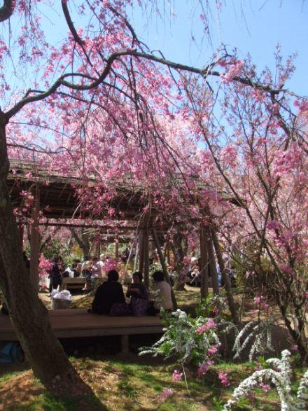 京都お花見