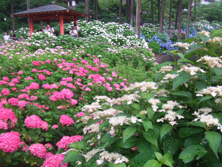 京都宇治の三室戸寺の紫陽花