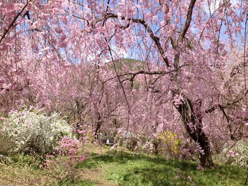 京都原谷苑の桜